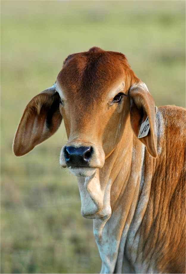 Brahman Cow Calf