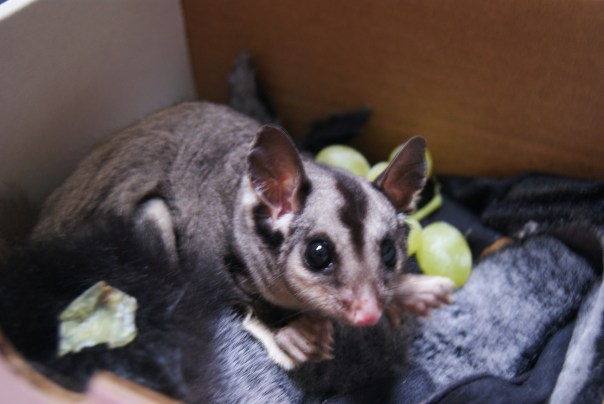 This is GrapeSeed, a poor little sugar glider who was tangled in our barbed wire fence.