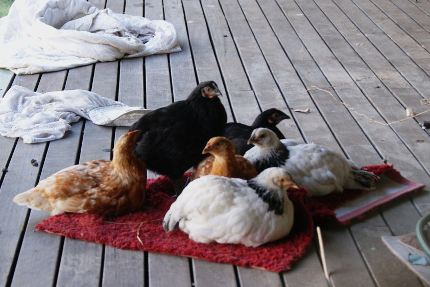 Our baby chooks getting bigger. Snuggling onto their favourite mat (?!)